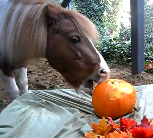 Saber, the pinto Miniature horse stallion, carves a pumpkin with his teeth.